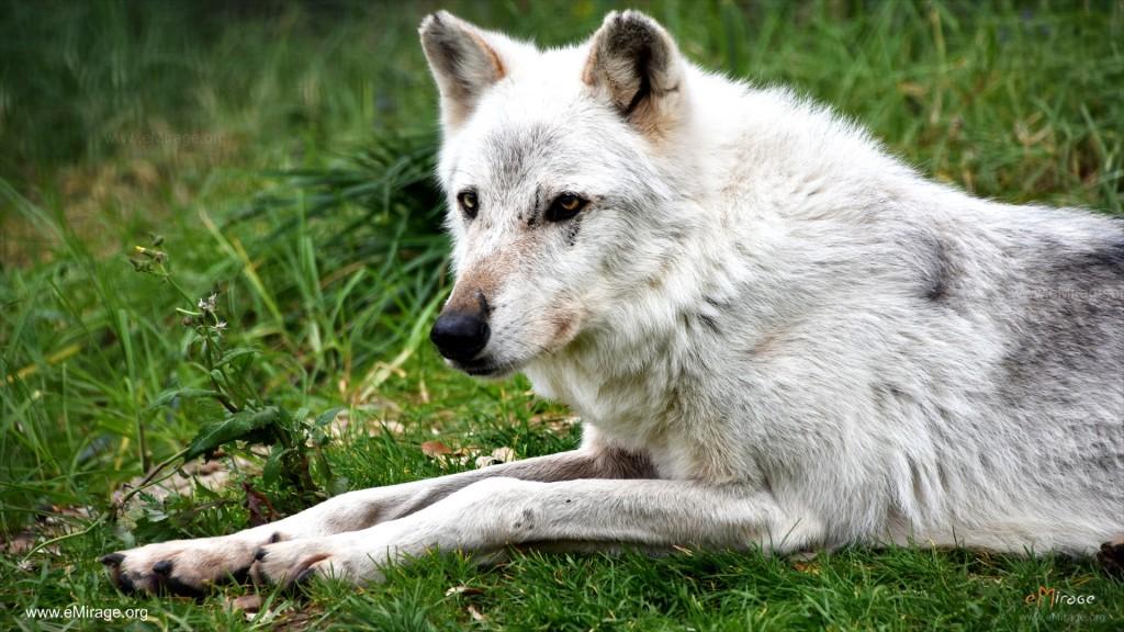 DSC_9983+white_wolf