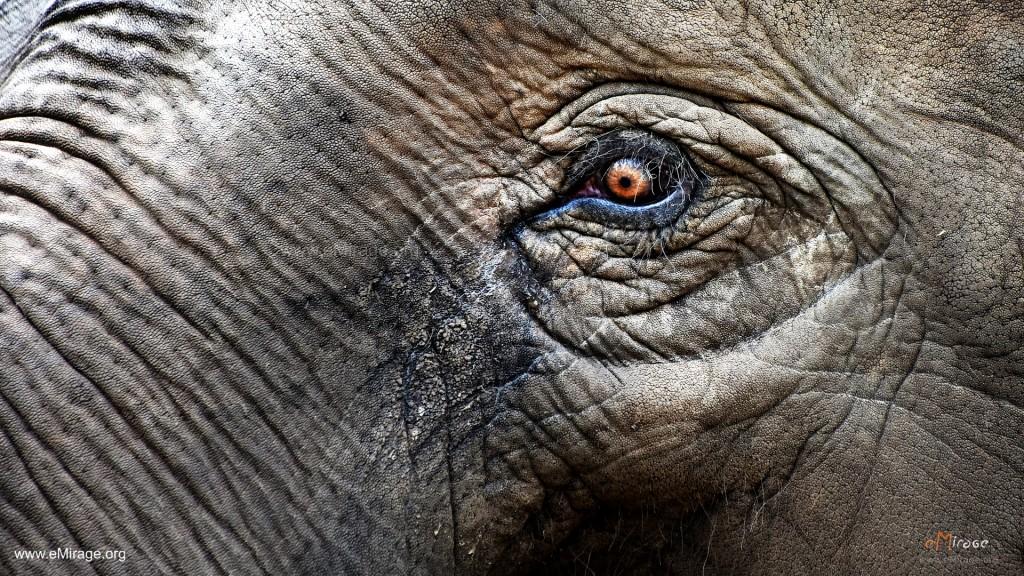 DSC_9993+elephant_eye